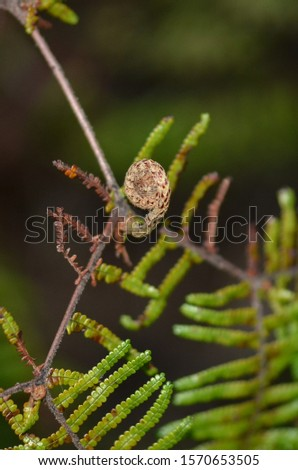 A young frond (fiddlehead) of the scrambling coral fern, or the parasol fern (Gleichenia microphylla), a small New Zealand native. It has a creeping rhizome and fronds that branch repeatedly. #1570653505