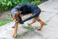 A young German shepherd puppy runs after the tail. Dog fun playing in the Park and bites his tail. Excited nervous behavior of the dog. Walking with a pet