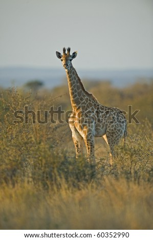 A young Giraffe in Kruger National Park