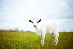 A young goat grazes in a meadow and smiling.