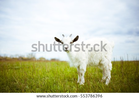 A young goat grazes in a meadow and smiling. #553786396