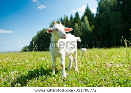 A young goat grazing in a meadow