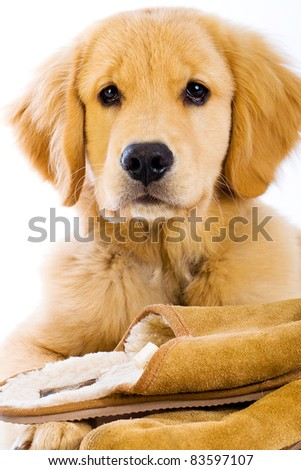 A young Golden Retriever Dog sitting with soft fluffy slippers.