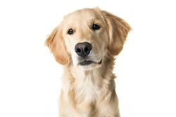 A young Golden Retriever Portrait isolated on white