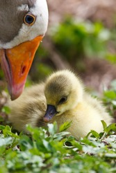 A young goose on a free pasture.