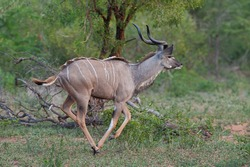 A young Greater Kudu antelope seen on a safari in South Africa