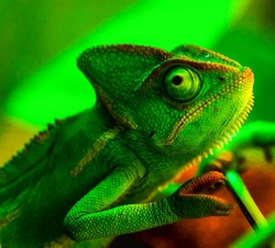 A Young Green Chameleon in his own Habitat