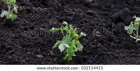 A young green plant growing out of soil.