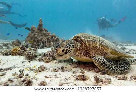 A young green turtle eating with scuba divers in the background on the great barrier reef in Australia  #1068797057