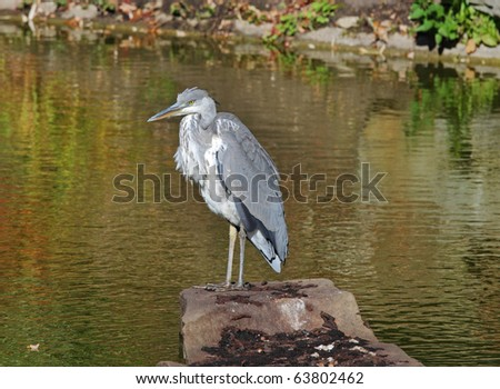 A young Grey Heron perched on a Lake side rock; (Ardea Cinerea)