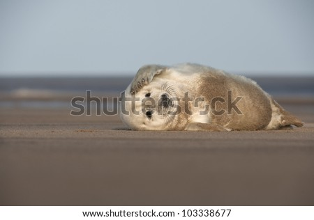 A young Grey Seal pup scratching the side of its' face with its' front flipper. Photographed at Donna Nook on the Lincolnshire coast in the United Kingdom.