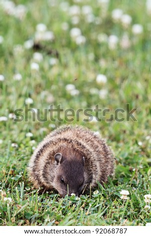 A young groundhog pup, also known as a Woodchuck,eating in a field of clover.