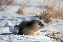 A young harp seal lays on white snow among beach grass in the cold winter. The wild animal has grey fur with harp shaped spots on its skin. The animal has dark eyes, long whiskers and a blubber belly.