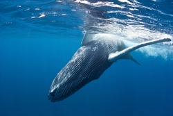 A young Humpback whale (Megaptera novaeangliae) playfully rolls at the surface of the Caribbean Sea.  The whale will soon migrate north with its mother to feed in New England waters.