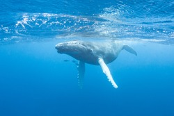 A young Humpback whale (Megaptera novaeangliae) swims at the surface of the Caribbean Sea, near where it was born. The calf will soon migrate north with its mother to feeding grounds off New England.