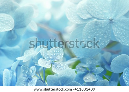 Stock Photo A young Hydrangea flower after a spring shower, inside a larger bloom and with light coming in between thee flowers. Extremely shallow depth of field for dreamy feel.