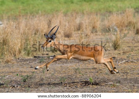 A young impala ram in mid air during a jump