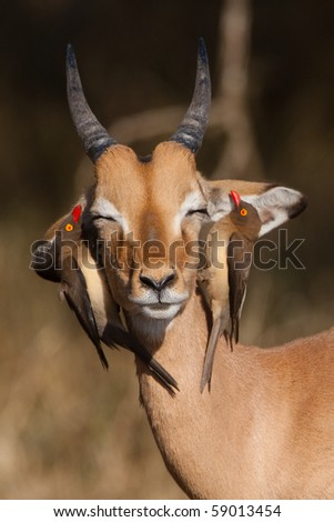 A young impala ram with two red-billed oxpeckers on its head, searching for ticks - stock photo