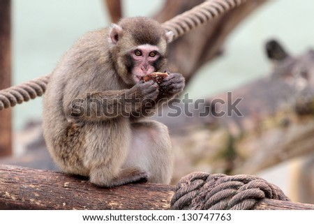A young japanese macaque is eating a cookie