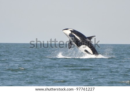 A young killer whale breaches in the Strait of Georgia near Vancouver BC