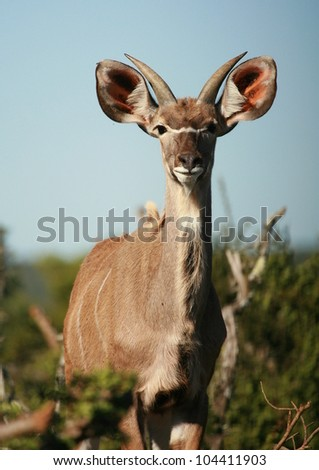 A young kudu bull antelope. This low angle profile was taken at Addo elephant national park, eastern cape,south africa
