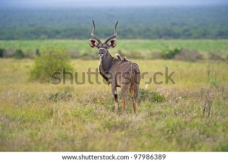 A young Kudu Bull nervously stares back