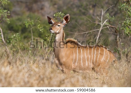A young kudu bull with an interesting expression on its face