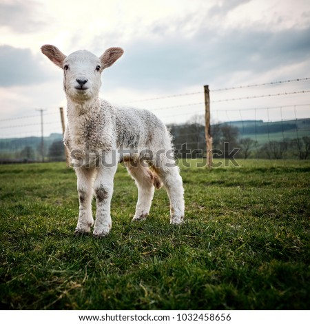 A young lamb born in the Yorkshire UK stands in a field on a farm in the Yorkshire Dales. #1032458656