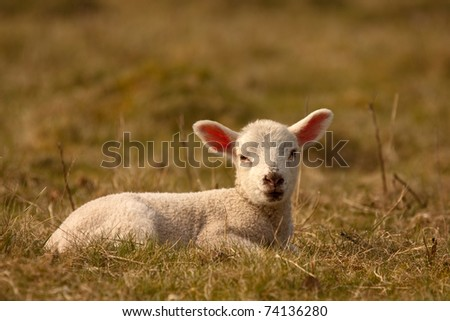 A young lamb sitting in a field