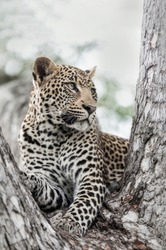 A young Leopard in a tree