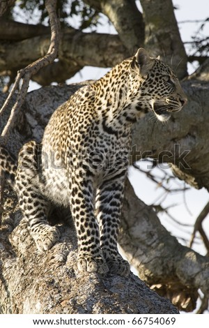 A young leopard sits in a tree in the Masai Mara.