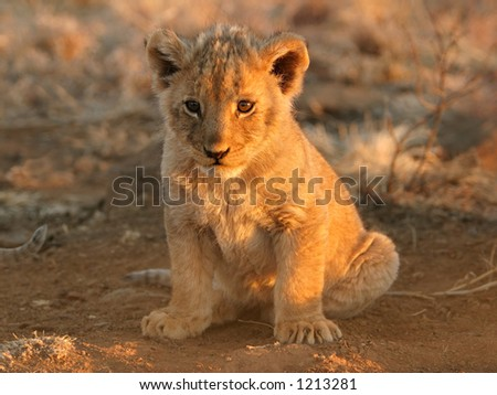 A young lion cub (Panthera leo) sitting down in early morning light, South Africa