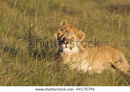 A young lion cub plays on a lioness while she stares intently.