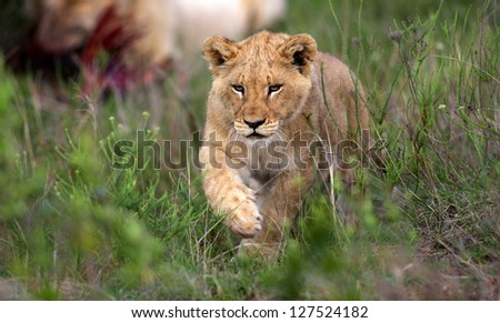 A young lion cub walks towards the camera in this profile photo from South Africa