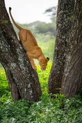 A young lion, fearful but also brave, jumping from an acacia tree, Lake Ndutu, Tanzania, Africa.
