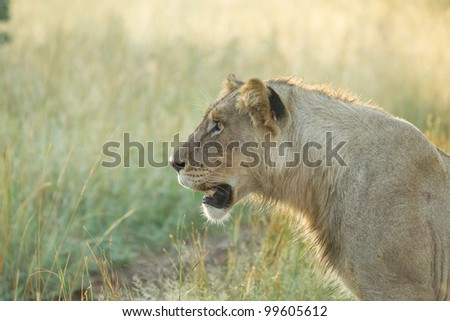 A young lion staring at something with intent