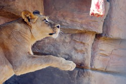 a young lioness in captivity