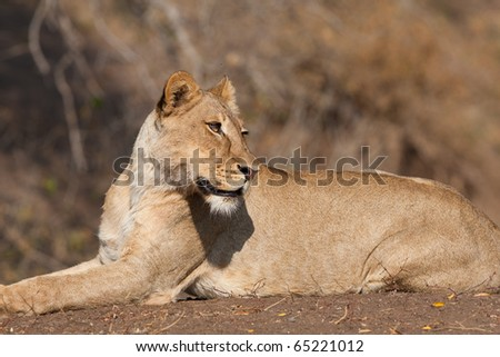 A young lioness lying on a river bank