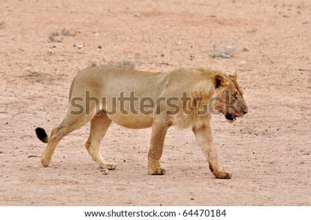 A young male African lion in the Kgalagadi Park, Kalahari Desert, South Africa, just after a hunt.