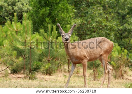 "a young male ""buck"" Black-tailed deer"
