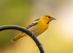 A young male Bullock's Oriole perches on a shepherds hook stand as it comes in to a Colorado bird feeding station.