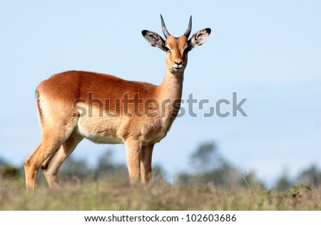 A young male impala ram in this portrait from a safari in eastern cape,south africa