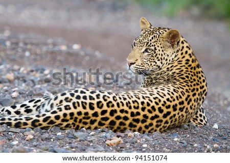 A young male leopard resting in a dry riverbed