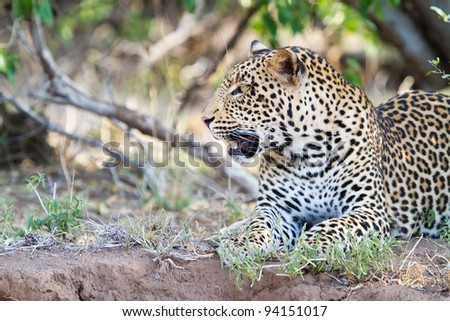 A young male leopard resting on the bank of a riverbed