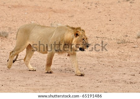 A young male lion in the Kgalagadi Transfrontier Park, Kalahari Desert, South Africa.