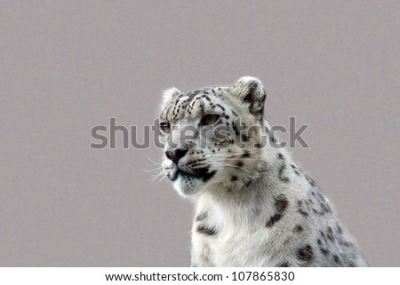 A young male snow leopard