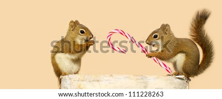 A young male squirrel offering a candy cane at Christmas time to a  happy looking pretty little female while perched on a log in the winter, with copy space. Part of a series.