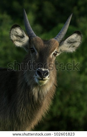 A young male waterbuck antelope in this portrait from eastern cape, south africa