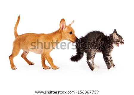 A young mixed breed yellow puppy sniffing the behind of a scared kitten that is arching her back and hissing