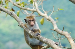 A young monkey relaxing by sitting on the tree branch an afternoon in Sigiriya Lion Rock, Sri Lanka.